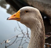 Goose head — Stock Photo