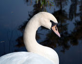 Tête de cygne — Photo