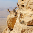 Mountain goats in the Makhtesh Ramon — Stock Photo #3210236