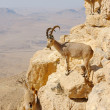 mountain goats in the makhtesh ramon — Stock Photo