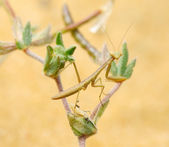Tiny mantis — Stock Photo