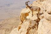 Mountain goats in the Makhtesh Ramon — Stock Photo