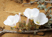 Bindweed on the sand — Stock Photo