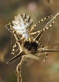 Spider argiope lobed — Stock Photo