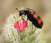 Blister beetles on a flower — Stock Photo