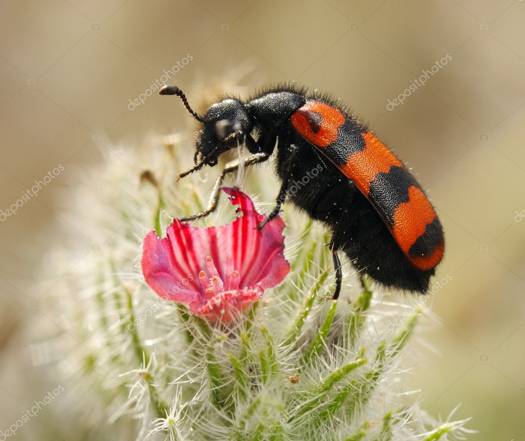 Poisonous blister beetles with bright black and red warning coloration — Stock Photo #3469784