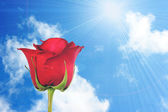 One red rose on blue-sky background — Stock Photo