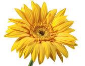 One yellow flower — Stock Photo