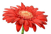 One red flower — Stock Photo