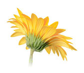 Back-side of yellow flower — Stock Photo