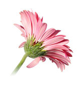 Back-side of pink flower — Stock Photo