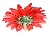 Parte trasera de la flor roja — Foto de Stock