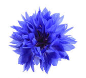 One blue flower — Stock Photo