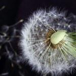 Single dandelion — Stock Photo