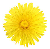 One yellow flower of dandelion — Stock Photo