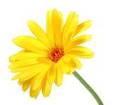 One orange flower of calendula — Stock Photo