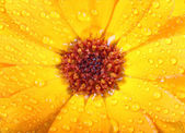 Orange flower of calendula with dew — Stock Photo