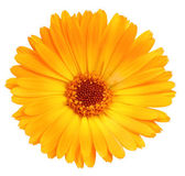 One orange flower of calendula — Stock Photo