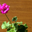 Stock Photo: Geranium plant