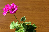 Geranium plant — Stock Photo