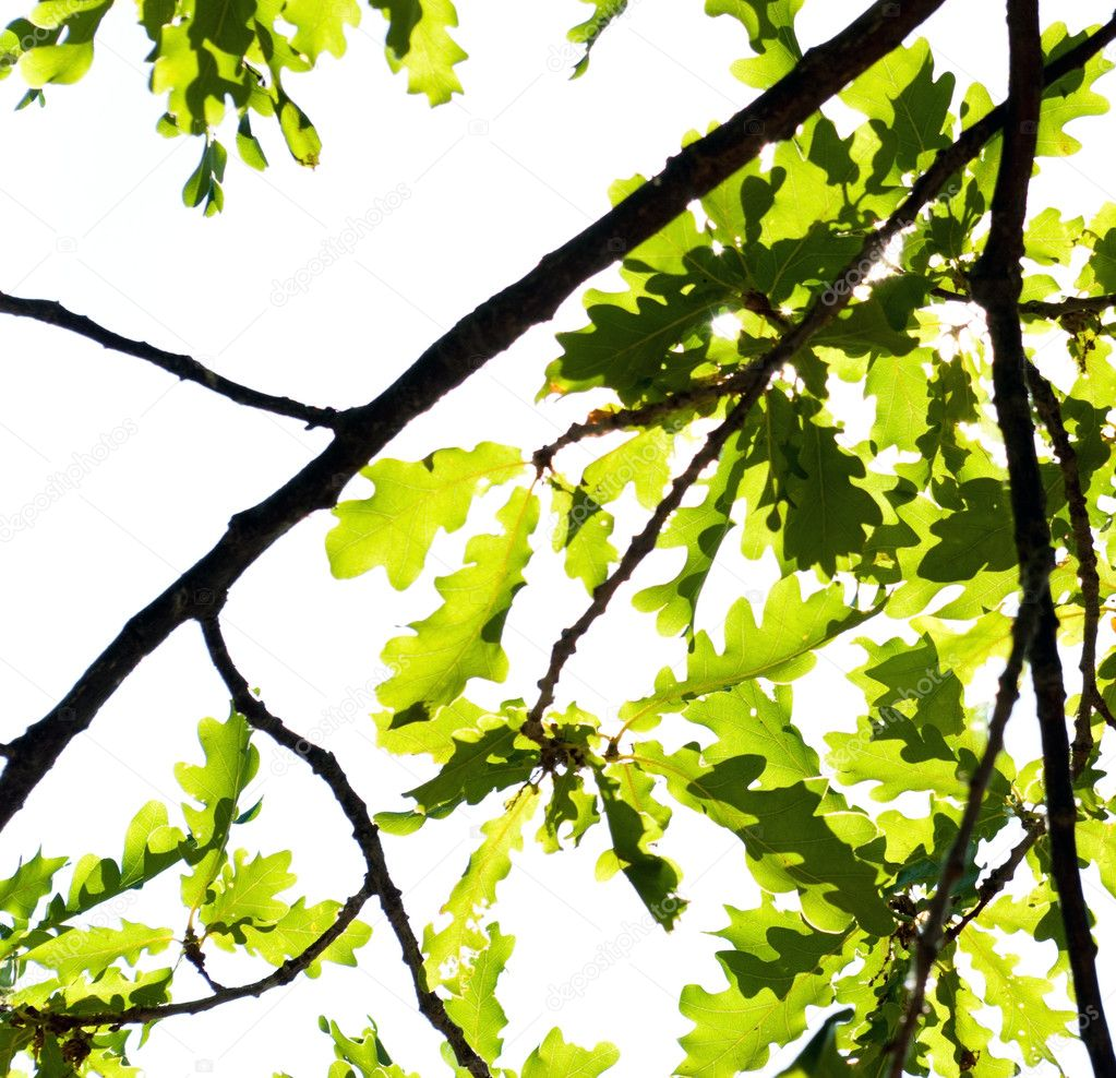 Oak branch and foliage on a white — Stock Photo #3437993