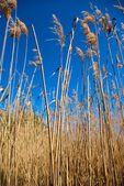 High dry reed — Stock Photo