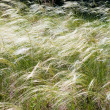 Stock Photo: Feather grass