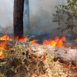 Forest fire - Photo