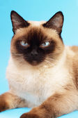 Siamese cat on a light background — Stock Photo