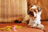 Yorkshire Terrier on a yellow background — Stock Photo