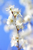 Flowers Plum — Stock Photo