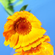 Calendula on a blue background — Stok fotoğraf