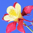 Aquilegia on a blue background — Stock Photo