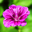 Mallow on a green light background — Photo