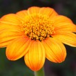 Mexican sunflower — Stockfoto