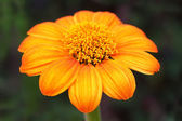 Mexican sunflower — Stock Photo