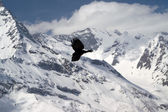 Alpine Chough (Pyrrhocorax graculus) — Stock Photo