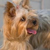 Portrait of Yorkshire Terrier — Stock Photo