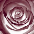Red rose closeup photo. — Stock Photo