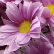 Chrysanthemum — Stock Photo #2858104