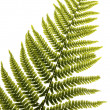 Fern leaf isolated — Foto Stock