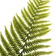 Fern leaf isolated — 图库照片