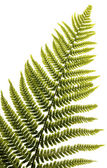 Fern leaf isolated — Stock Photo