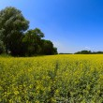Oil seed rape field under the summer sky — Stock Photo #3299191