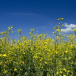 Oil seed rape field under the summer sky — Stock Photo