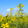 Oil seed rape field under the summer sky — Stock Photo #3299213