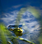 Frog in the lake, watching photographer — Stock Photo