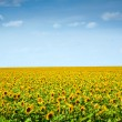 Sunflowers field under the blue sky — Stock Photo