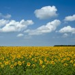 Sunflowers under the blue sky. beautiful rural scene — Stock Photo