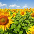 Sunflowers under the blue sky. beautiful rural scene -  